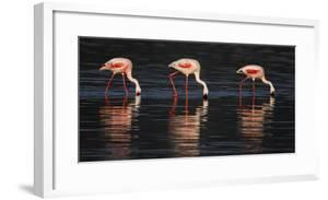 Lesser flamingos in water by Panoramic Images