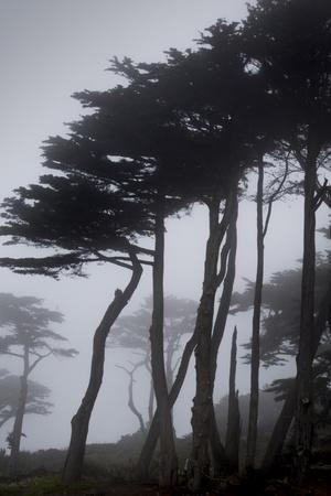 Low angle view of trees in the fog at Lands End, San Francisco, California, USA