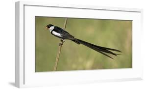 Pin-tailed Wydah by Panoramic Images