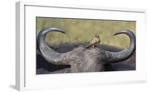 Red-billed oxpecker on a cape buffalo's head by Panoramic Images