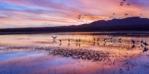 Sandhill crane (Antigone canadensis) birds and lake at sunset, Bosque del Apache National Wildli... by Panoramic Images