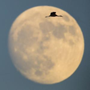 Sandhill crane (Antigone canadensis) flying against moon, Soccoro, New Mexico, USA by Panoramic Images