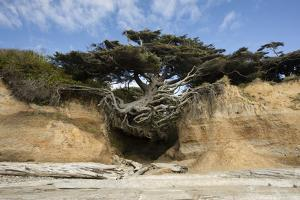 Scenic view of tree of life, Kalaloch, Olympic National Park, Jefferson County, Washington State... by Panoramic Images