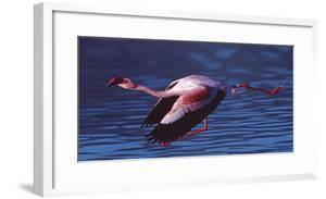 Side profile of a flamingo flying over a river, Tanzania by Panoramic Images