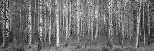 Silver birch trees in a forest, Narke, Sweden by Panoramic Images