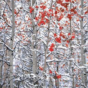 Snow covered aspen trees by Panoramic Images