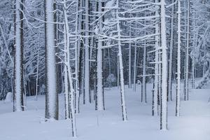 Snow covered trees in forest, Hope, Knox County, Maine, USA by Panoramic Images