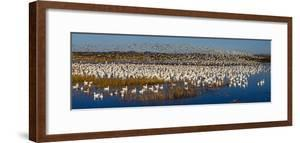 Snow goose (Anser caerulescens) colony, Soccoro, New Mexico, USA by Panoramic Images