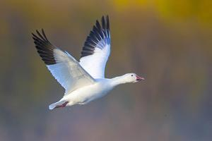 Snow goose (Anser caerulescens) during flight, Soccoro, New Mexico, USA by Panoramic Images