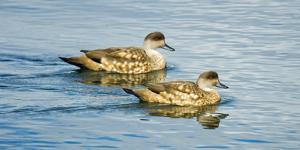 Two Patagonian crested ducks (Lophonetta specularioides specularioides) swimming side by side, P... by Panoramic Images