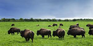 Unusual and Unique Domesticated Bison Herd, Near Curagha, County Meath, Ireland by Panoramic Images