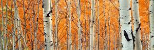 View of Aspen trees, Granite Canyon, Grand Teton National Park, Wyoming, USA, by Panoramic Images
