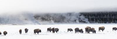 View of Bison herd (Bison bison) Fountain Flats, Yellowstone National Park, Wyoming, USA
