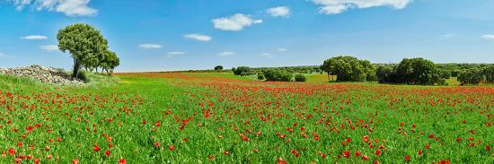 Panoramic View Of Poppy Flowers Field Cuenca Castilla La Mancha Spain Photographic Print Art Com