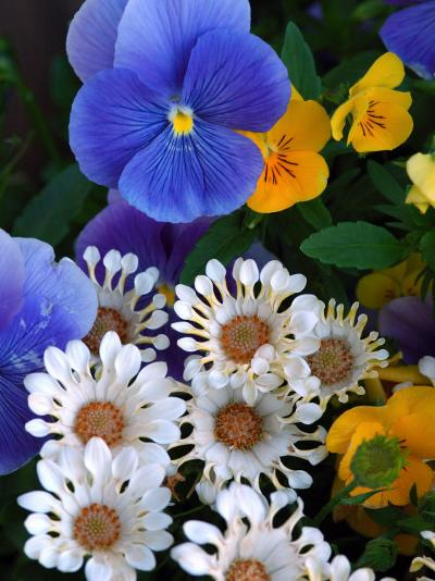 Pansies and Osteospermum Flowers in a Garden, Belmont, Massachusetts, USA-Darlyne A^ Murawski-Photographic Print