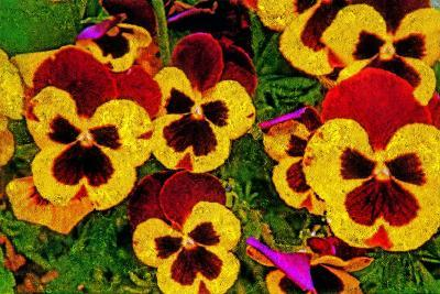 Pansies-Andr? Burian-Photographic Print