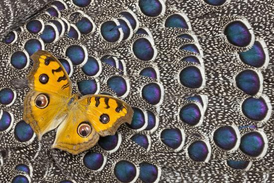 Pansy Butterfly on Grey Peacock Pheasant Feather Design-Darrell Gulin-Photographic Print