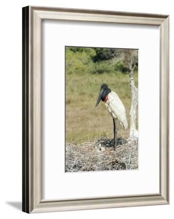 Pantanal, Mato Grosso, Brazil. Jabiru in its large nest full of chicks.-Janet Horton-Framed Photographic Print