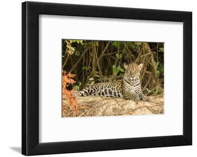 Pantanal, Mato Grosso, Brazil. Jaguar resting on a riverbank.-Janet Horton-Framed Photographic Print