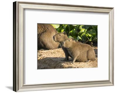 Pantanal, Mato Grosso, Brazil. Portrait of two young Capybaras sitting along the riverbank-Janet Horton-Framed Photographic Print