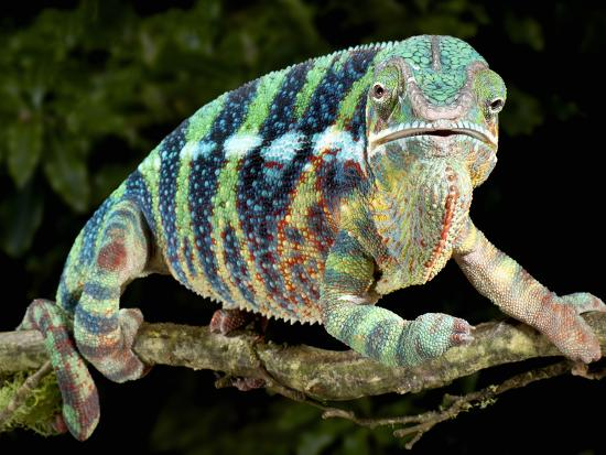 Panther Chameleon (Furcifer Pardalis), Captive-Michael Kern-Photographic Print