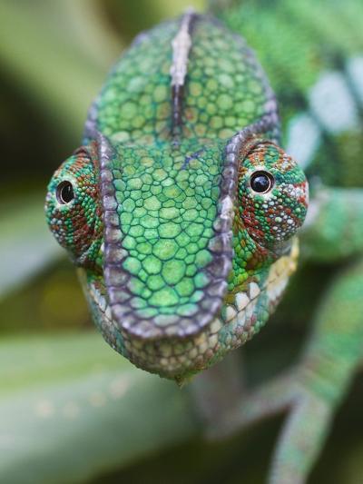 Panther Chameleon-Keren Su-Photographic Print