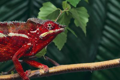 Panther Chameleon-DLILLC-Photographic Print
