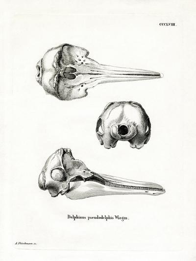 Pantropical Spotted Dolphin Skull--Giclee Print