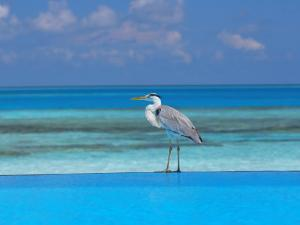 Blue Heron Standing in Water, Maldives, Indian Ocean by Papadopoulos Sakis