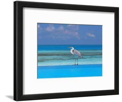 Blue Heron Standing in Water, Maldives, Indian Ocean