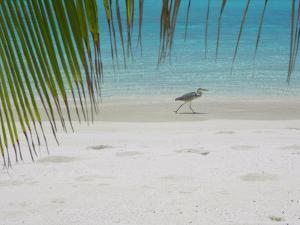 Heron Wading Along Water's Edge on Tropical Beach, Maldives, Indian Ocean by Papadopoulos Sakis