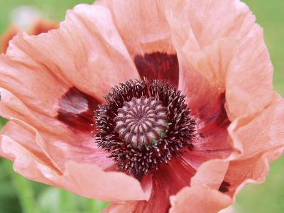 Papaver Fiesta, Salmon Coloured Flower with Anthers-Lynn Keddie-Photographic Print