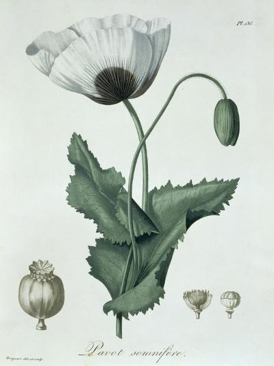 Papaver Somniferum from Phytographie Medicale by Joseph Roques-L.f.j. Hoquart-Giclee Print