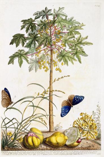 Papaya, C.1748-Georg Dionysius Ehret-Giclee Print
