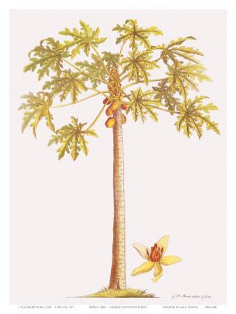 https://imgc.artprintimages.com/img/print/papaya-tree-botanical-illustration-18th-century_u-l-f31ryw0.jpg?p=0