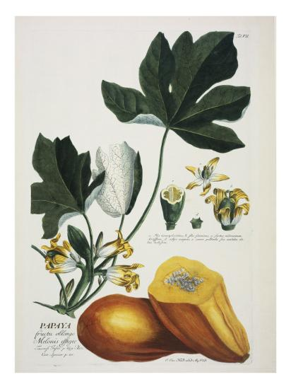 Papaya-Georg Dionysius Ehret-Giclee Print