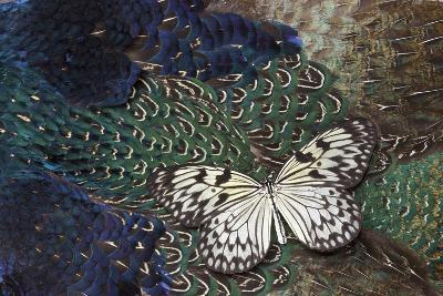 Paper Kite Butterfly on Breast Feathers of Ring-Necked Pheasant Design-Darrell Gulin-Photographic Print