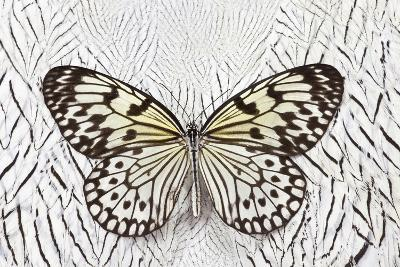 Paper Kite Butterfly on Silver Pheasant Feather Pattern-Darrell Gulin-Photographic Print