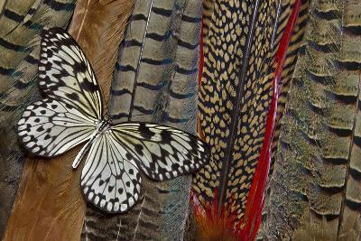 Paper Kite Butterfly on Tail Feathers of Variety of Pheasants-Darrell Gulin-Photographic Print