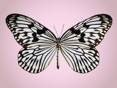 Paper-kite butterfly--Photographic Print