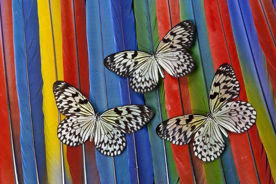 Paper Kite Tropical Butterfly on Macaw Tail Feather Design-Darrell Gulin-Photographic Print