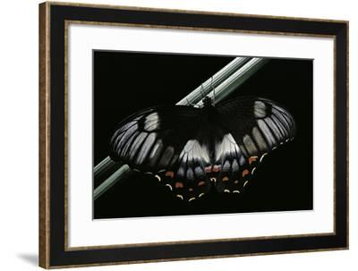 Papilio Aegeus (Orchard Swallowtail Butterfly, Large Citrus Butterfly) - Female-Paul Starosta-Framed Photographic Print