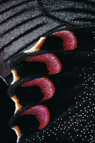 Papilio Arcturus (Blue Peacock) - Wings Detail-Paul Starosta-Photographic Print