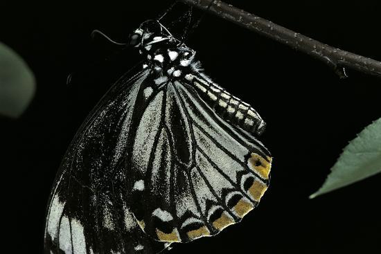 Papilio Clytia (Common Mime Swallowtail)-Paul Starosta-Photographic Print
