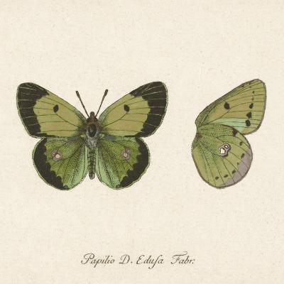Papilio Edusa Fabr-A^ Poiteau-Art Print