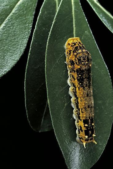 Papilio Epiphorbas (Tearful Swallowtail) - Caterpillar-Paul Starosta-Photographic Print