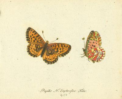 Papilio Euphrosyne-A^ Poiteau-Premium Giclee Print