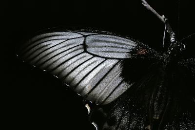 Papilio Lowi (Great Yellow Swallowtail, Asian Swallowtail) - Wings Detail-Paul Starosta-Photographic Print