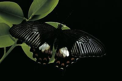 Papilio Polytes (Common Mormon)-Paul Starosta-Photographic Print