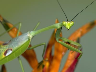 Praying Mantis Insect Green Close Up 12X16 Inch Framed Art Print